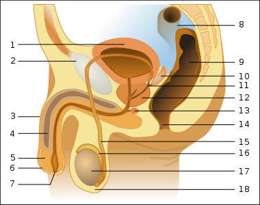 Mužský urogenitální trakt